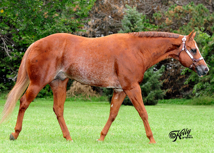 absolute investment quarter horse stallion