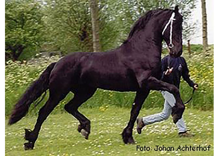 bente 412 friesian stallion