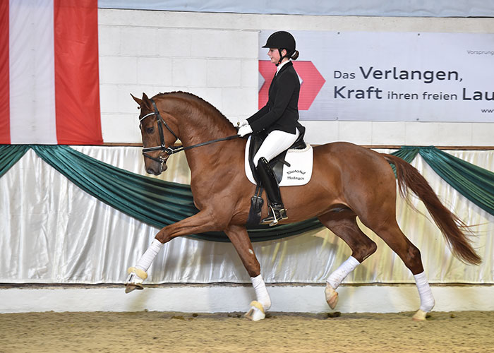 borsalino warmblood stallion