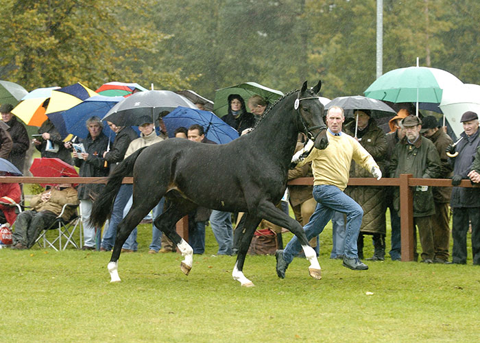 Contendros Bube Warm Blood | International Horse Breeders