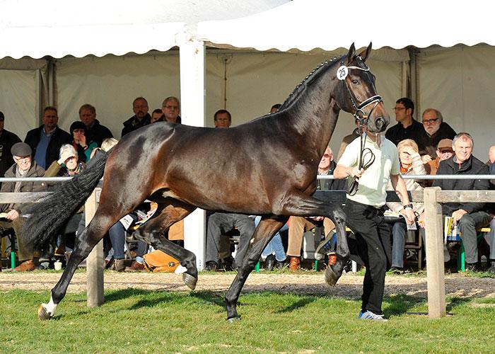 danzador warmblood stallion