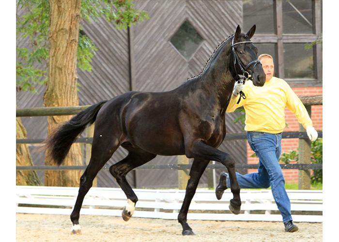 dubarry stallion