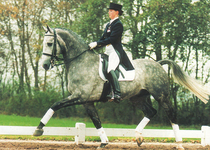 highness warmblood stallion