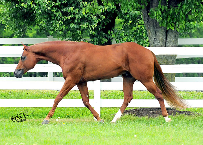 Hot Diggity Joe quarter horse stallion