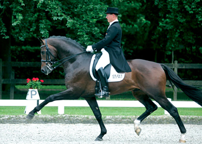olivi warmblood stallion