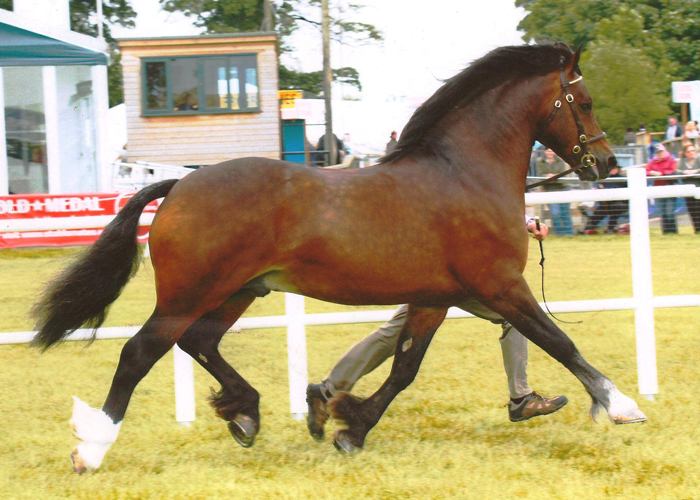 pennal the great welsh cob stallion