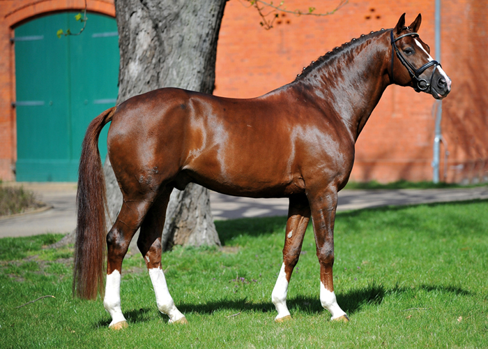 quaterback warmblood stallion