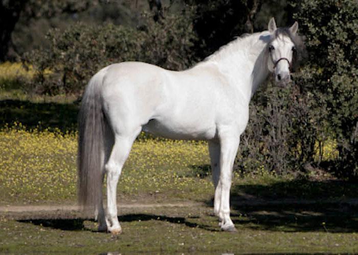 Varon IV | Pure Spanish Horse | International Horse Breeders