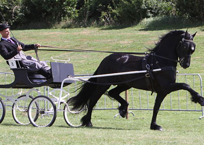wylster 463 Friesian stallion