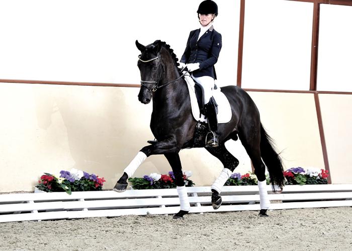 furston look warmblood stallion