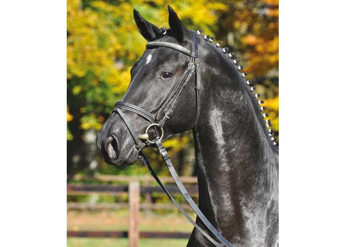 Abendtanz warmblood stallion
