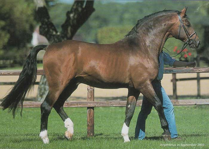 Argentinus warmblood stallion