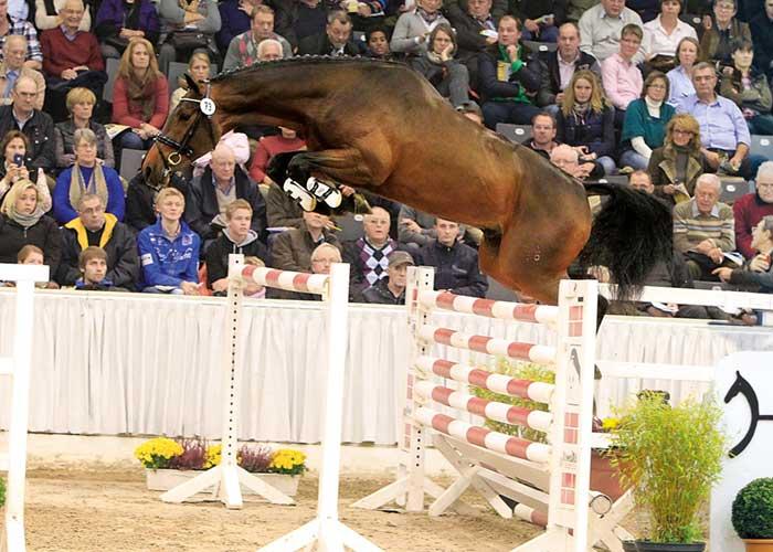 cantolar warmblood stallion