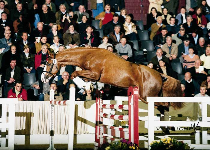 Champion FP warmblood stallion