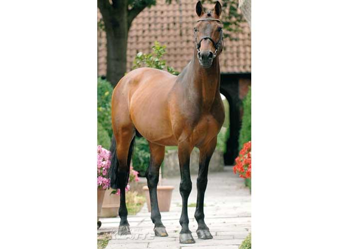 Concetto Famos warmblood stallion