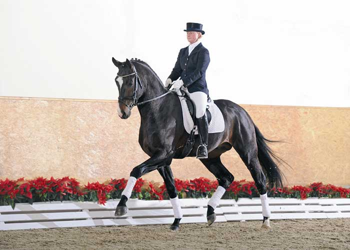 De Champ warmblood stallion