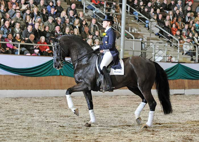De Niro warmblood stallion International Horse Breeders