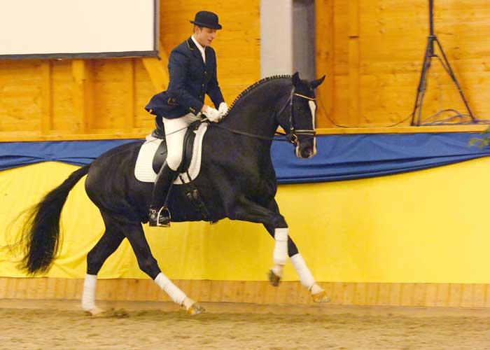Don Ricoss warmblood stallion