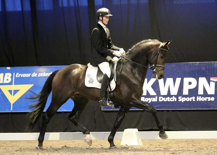 Don Tango B warmblood stallion