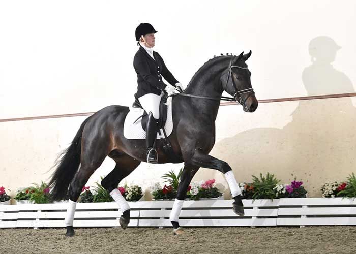 Feinrich warmblood stallion