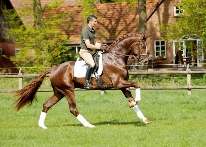 Floriscount warmblood stallion