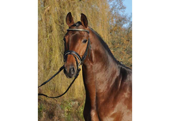 Herbstkonig warmblood stallion
