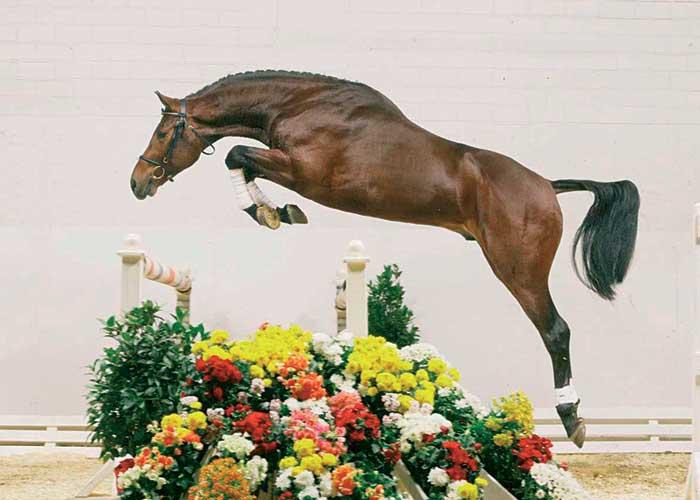 Lauterbach stallion