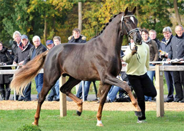 Quantensprung warmblood stallion