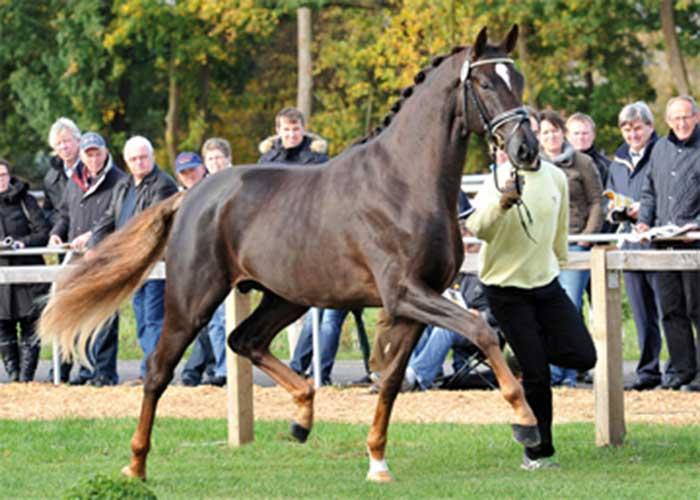 Quantensprung warmblood stallion