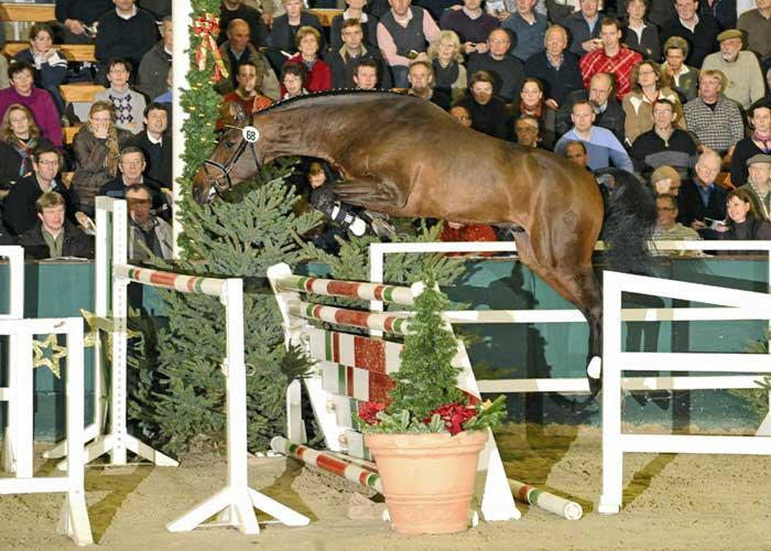 Quintador warmblood stallion