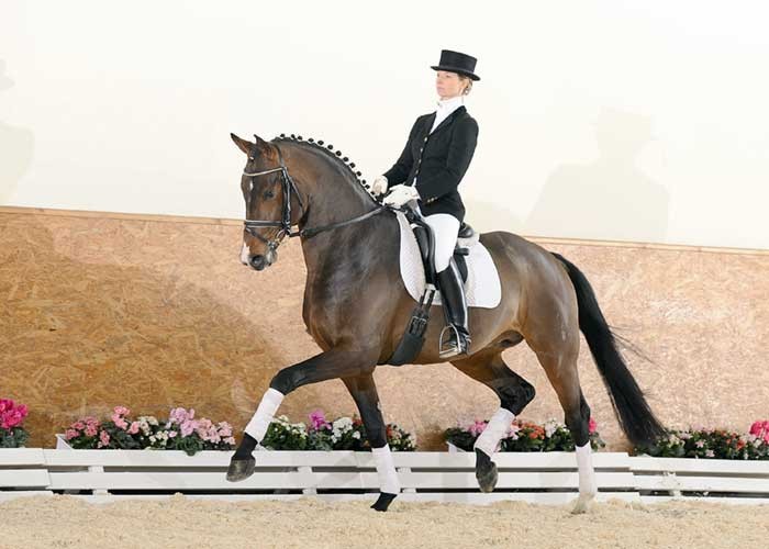 Riccidoff warmblood stallion