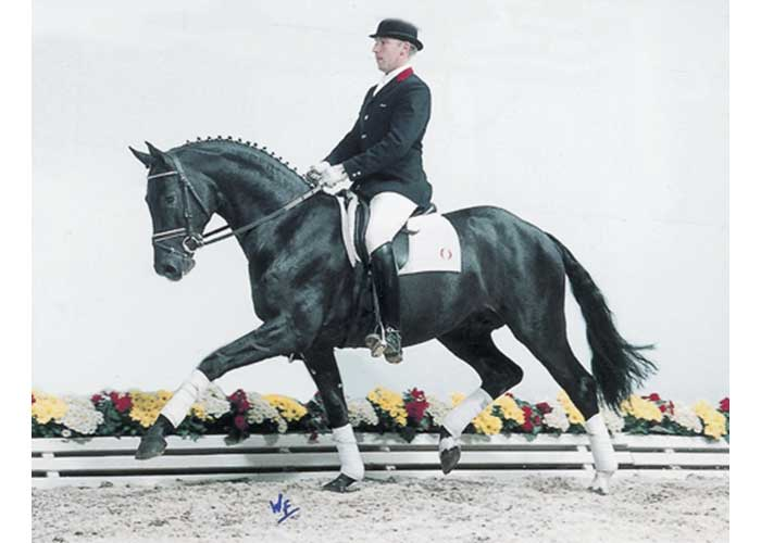 Ronaldo warmbloods stallion
