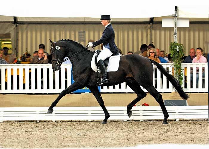 Samarant warmblood stallion