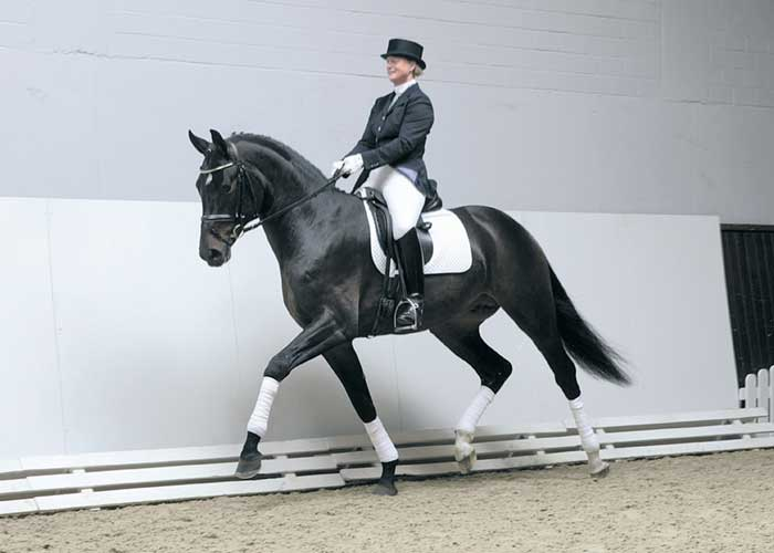 Samba Hit 111 warmblood stallion