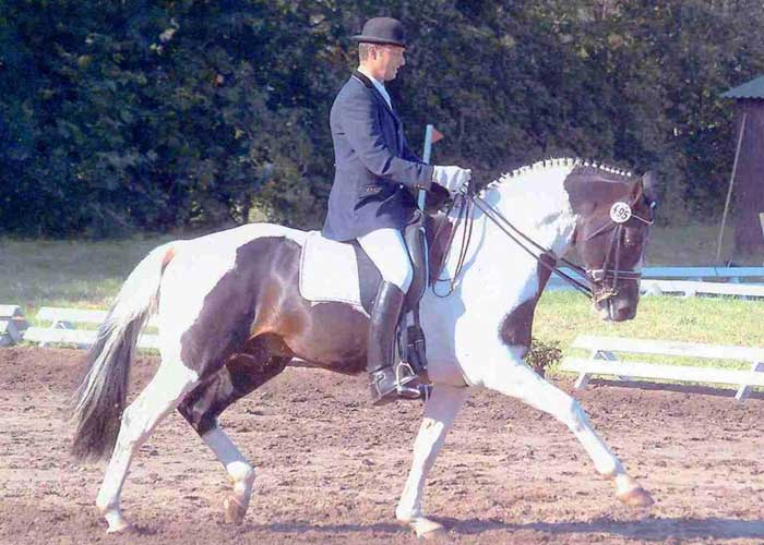 Sambertino warmblood stallion