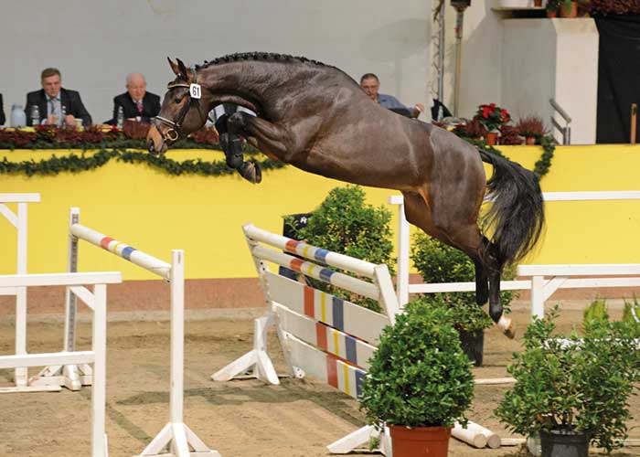 Sandro's Adel warmblood stallion
