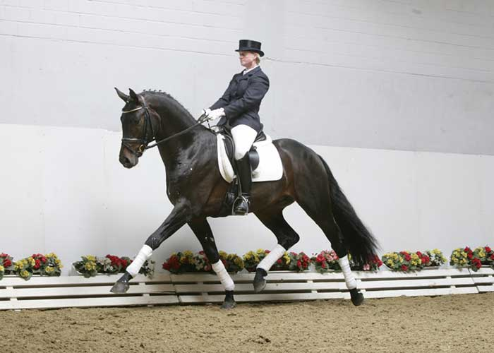 Schufro warmblood stallion