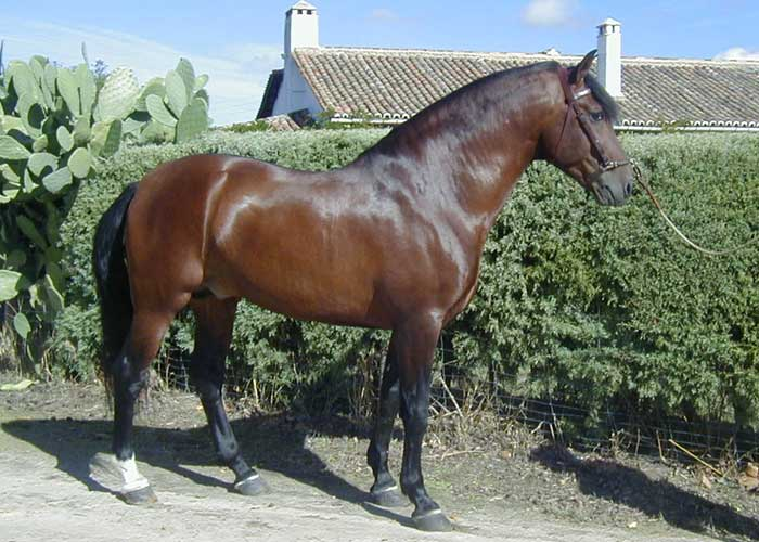 Varon IV pure spanish horse