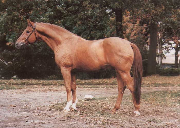 werther warmblood stallion