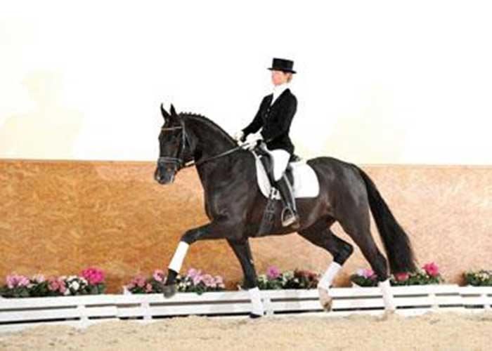 surprice warmblood stallion