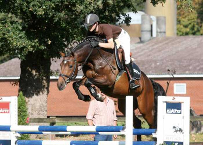 collado warmblood stallion
